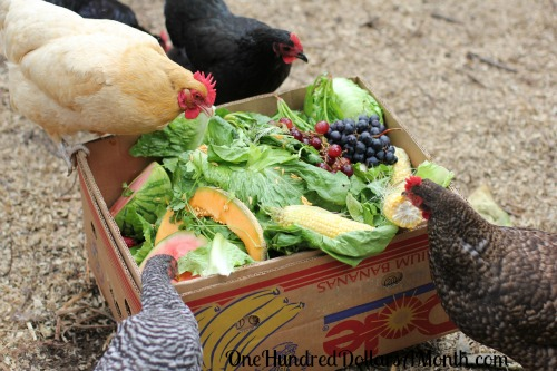 I-feed-my-chickens-scraps